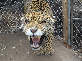 Growling Jaguar