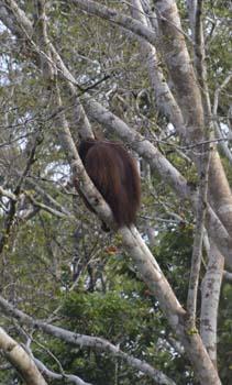 orangutan back